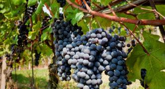 Виноград сорта Ранний ТСХА