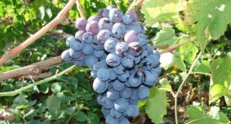 Виноград сорта Альфа