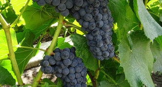 Виноград сорта Вэлиант