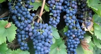 Виноград сорта Саперави Северный