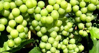 Виноград сорта Сукриба