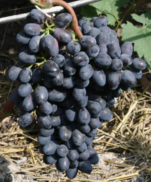 Гроздь винограда Чарли
