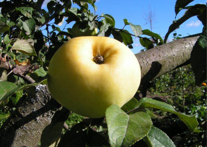 Сорт яблок Антоновка обыкновенная