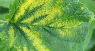 Хлоротическая кольцевая пятнистость