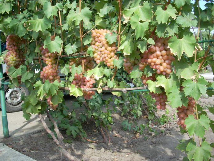 Куст винограда Гелиос