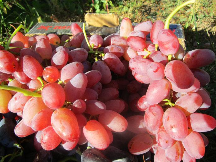 Грозди винограда Гелиос