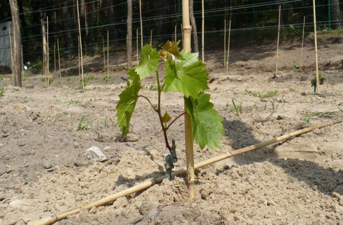 Побег молодого винограда