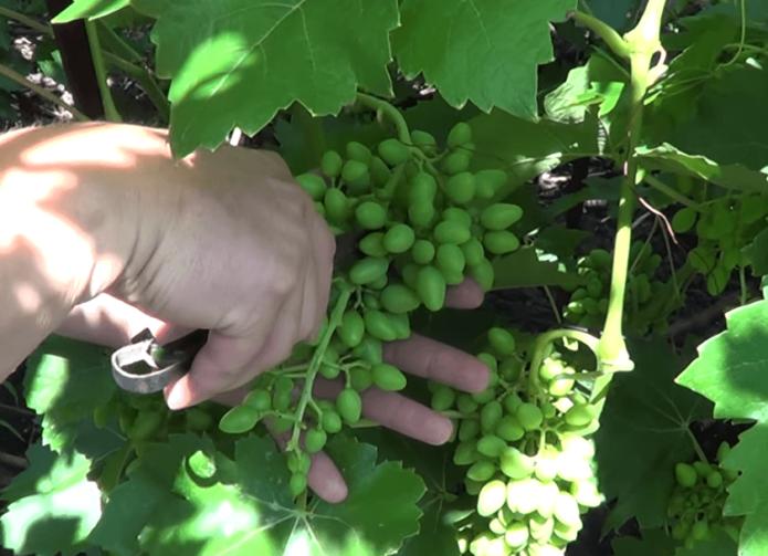 Прореживание гроздей винограда дорожкой