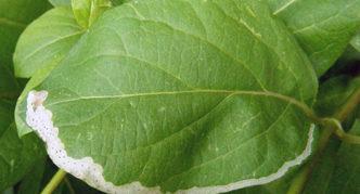 Листья, поражённые личинками мухи-минёра