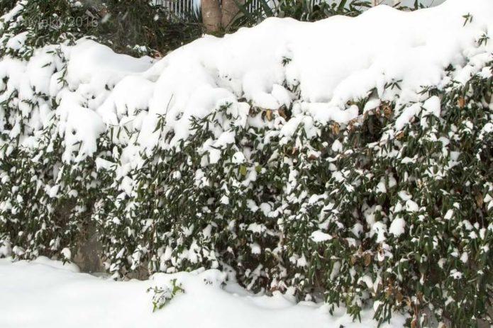 Жимолость зимой