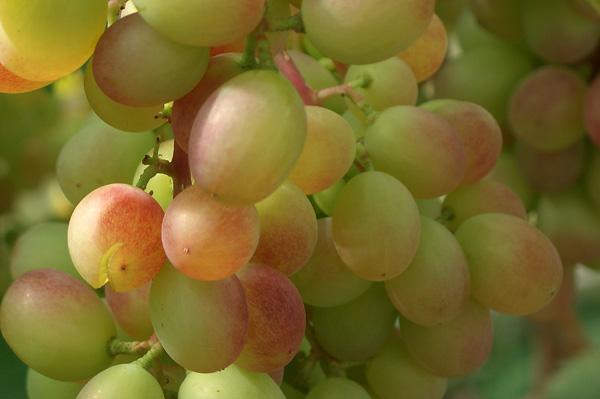 Виноград растрескивается