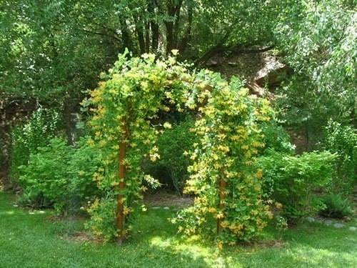 Декоративная жимолость на арке