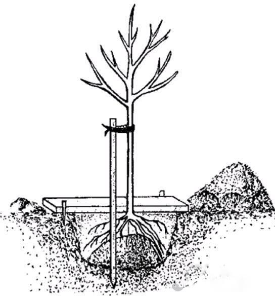 Посадка плодового дерева