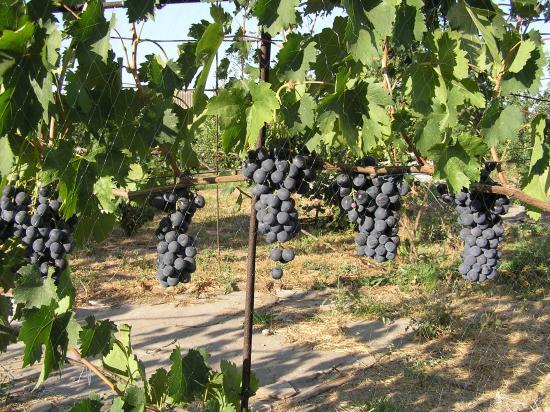 Виноград сорта Страшенский на сетке