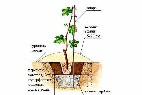 Рисунок посадки саженца винограда