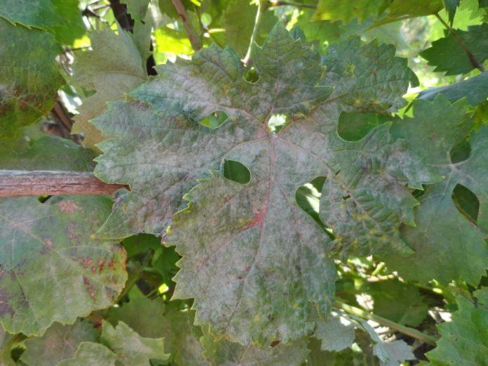 Листья винограда, поражённые оидиумом