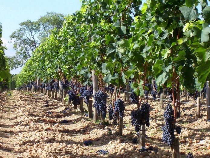 Кусты технического винограда