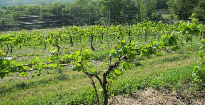 Подвязка лоз винограда