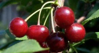 Сорт вишни Быстринка