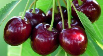 Сорт вишни Мензелинская