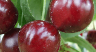 Сорт вишни Молодёжная