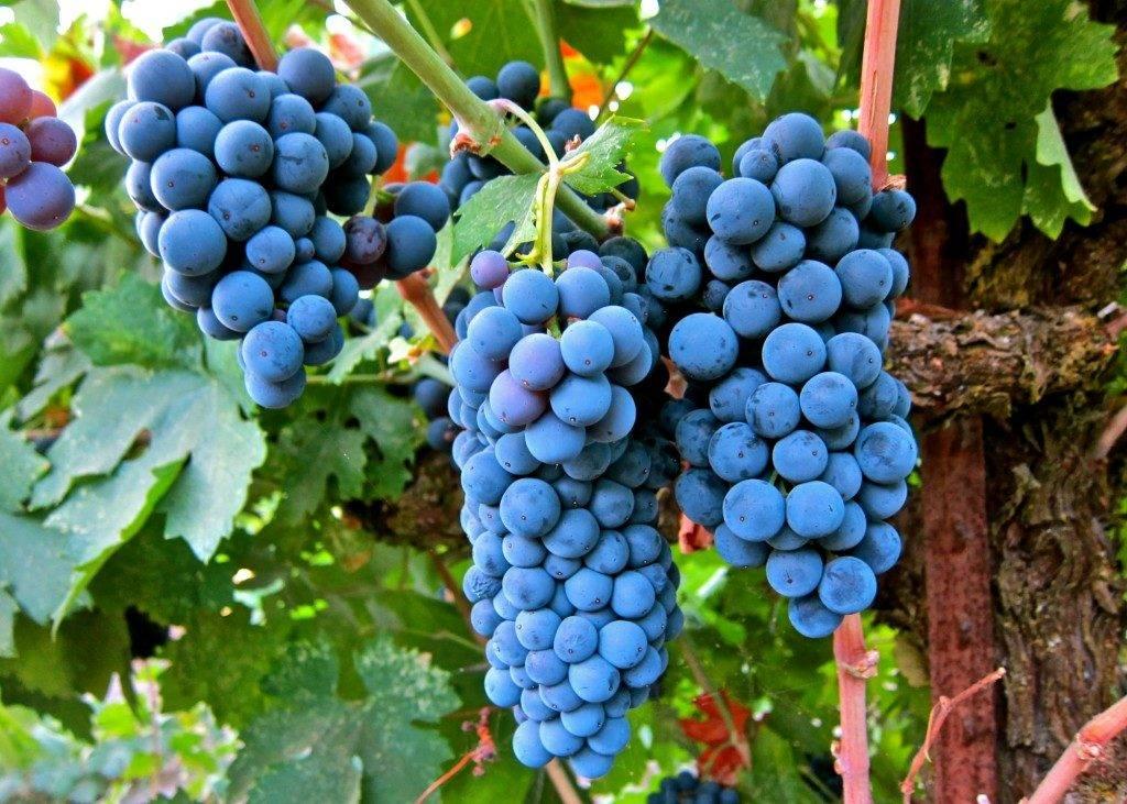 переработка винограда изабелла