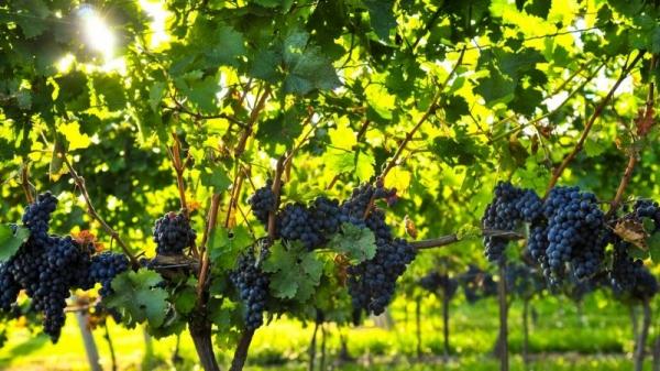Куст винограда Изабелла