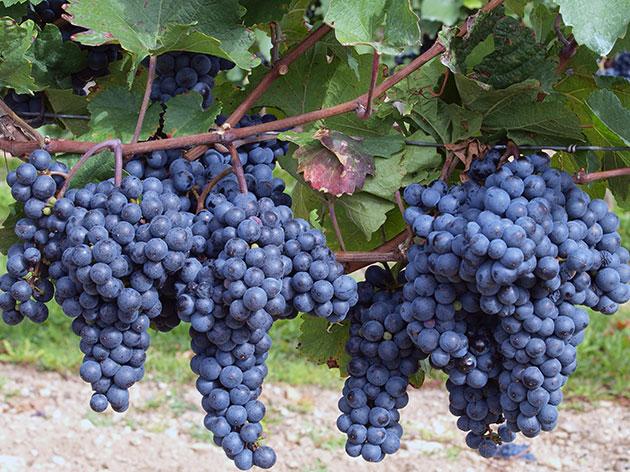 Ягоды винограда Изабелла