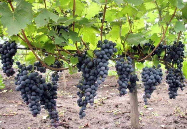 Виноград на шпалерах