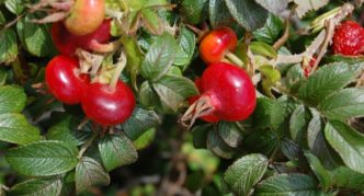 Плоды шиповника морщинистого
