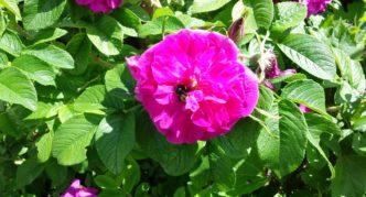 Цветок шиповника морщинистого