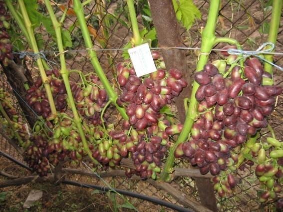 Урожайный куст винограда Изюминка