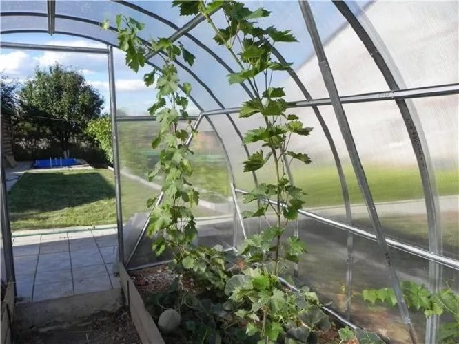 Как посадить виноград когда правильно делать, особенности посадки осенью