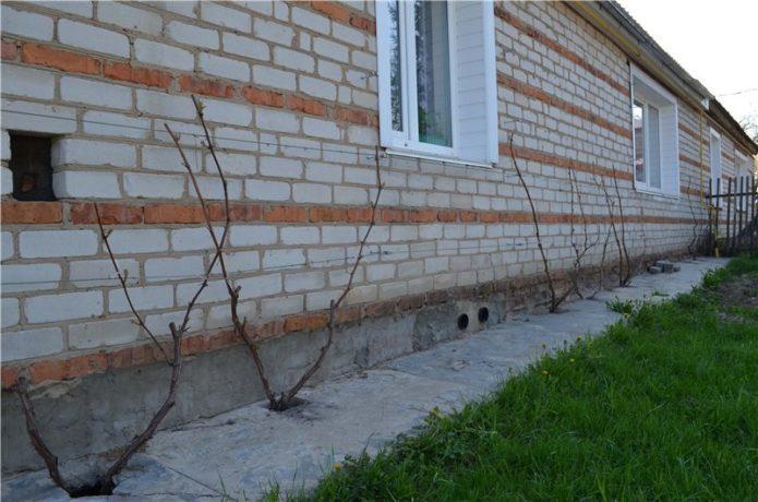 Виноград в пристенной культуре