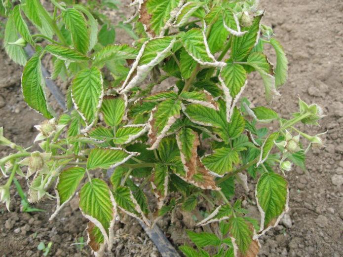Скручивающиеся листья