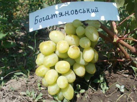 Гроздь винограда Богатяновский