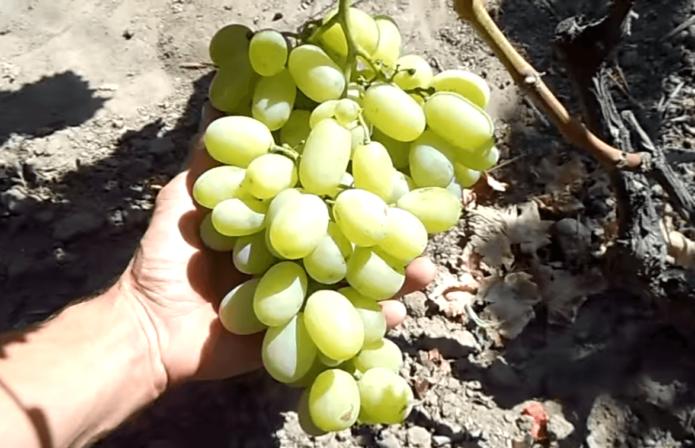 Крупная гроздь Богатяновского
