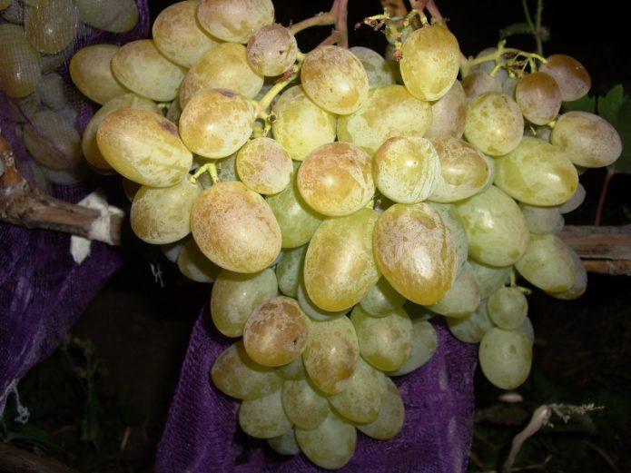 Зрелая гроздь винограда Богатяновский