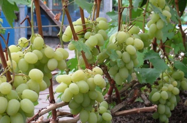 Куст винограда Богатяновский