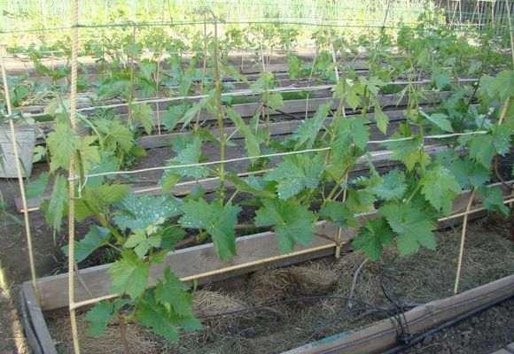 Полив и мульчирование винограда
