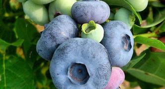 Плоды Патриота