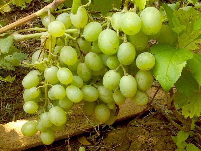 Спелые грозди винограда Подарок Запорожью