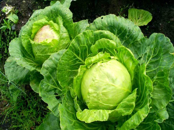 Ранняя белокочанная капуста