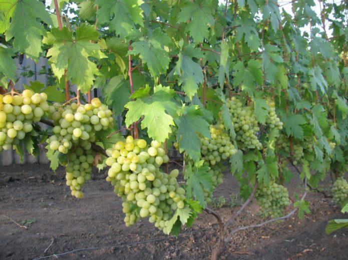 Куст винограда Валёк