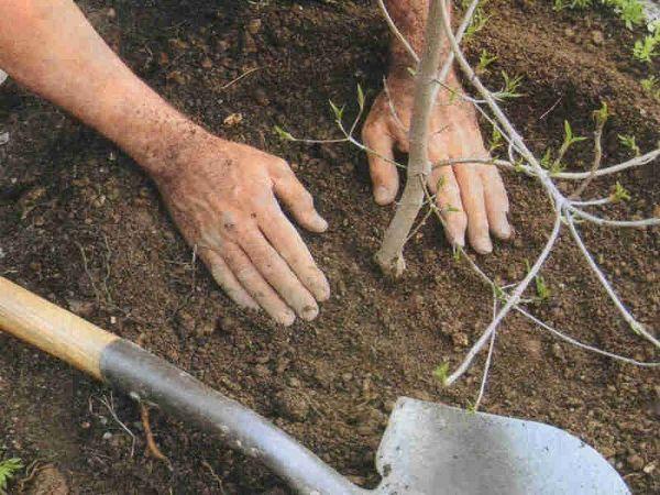 Уплотнение земли вокруг саженца на примере вишни