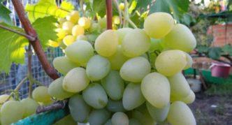 Сорт винограда Хризолит