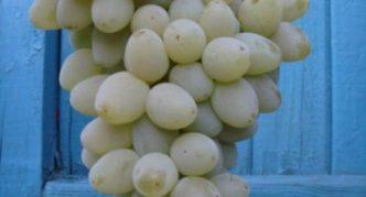 Сорт винограда Ляна