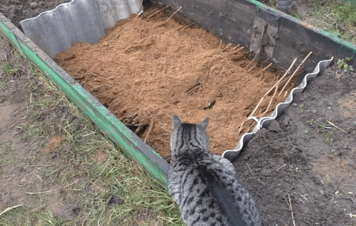 Хранение черенков в земле
