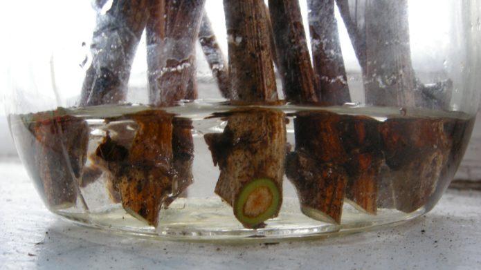 Зелёные черенки винограда в воде