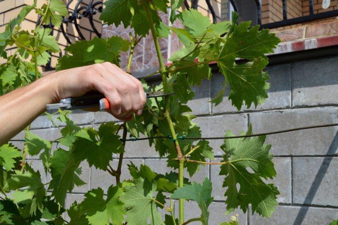 Подготовка зелёных черенков